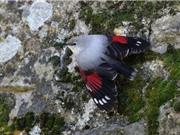 Ấn tượng với bộ lông của chim Wallcreeper