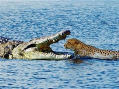 Clip: Bầy cá sấu xé xác báo đốm