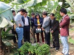 Vĩnh Phúc: Triển khai thực hiện dự án sản xuất chuối tiêu hồng theo chuỗi giá trị