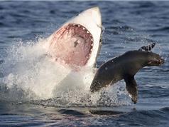 Clip: Cá mập trắng cắn đứt đôi người hải cẩu voi