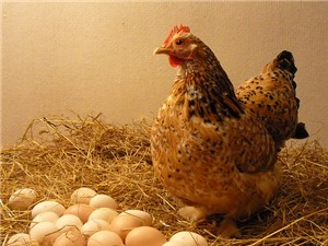 """LẠ: Gà vô sinh có khả năng """"đẻ thuê"""" trứng"""