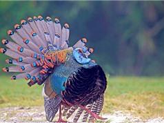 Gà tây mắt đơn khoe bộ lông sặc sỡ như chim công