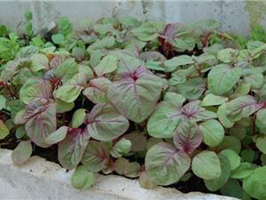 Hướng dẫn trồng rau dền trong thùng xốp vô cùng đơn giản