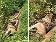 Trăn khổng lồ chết thảm vì cố nuốt chửng chuột túi