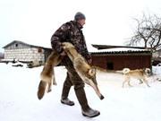 Ghê rợn cảnh bắt giết sói ở gần Chernobyl