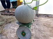 Trồng dưa lưới trong nhà màng theo tiêu chuẩn VietGap ở Long An