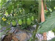 Triển vọng từ cà chua cherry trên đất Vĩnh Phúc