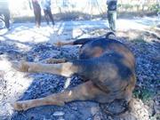 Bò tót 800 kg tại Vườn Quốc gia lao vào ôtô chết vì... còi xe