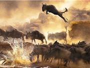"""Clip: Cuộc vượt sông """"đẫm máu"""" của linh dương đầu bò"""