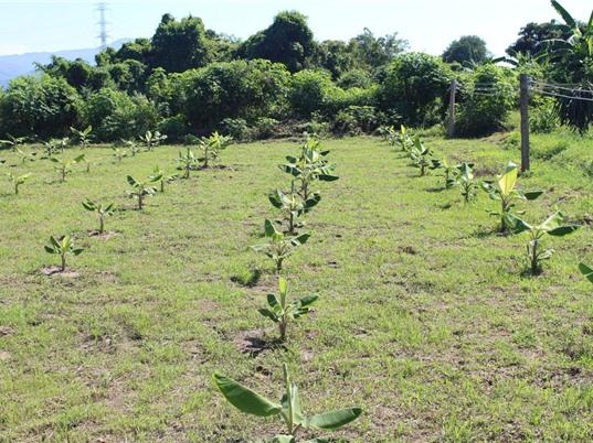 Chuối sứ cấy mô - cây thoát nghèo của nông dân Bình Thuận