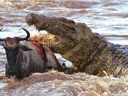 """Clip: Bầy cá sấu """"tha chết"""" cho linh dương đầu bò"""