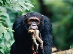 Clip: Rợn người nhìn cảnh tinh tinh săn giết khỉ