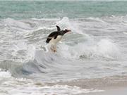 """""""Chết cười"""" với cảnh chim cánh cụt lướt sóng"""