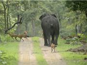 """Đàn chó rừng """"nếm quả đắng"""" vì cả gan tấn công voi con"""