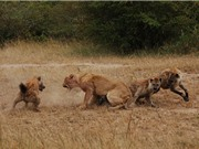 Clip: Cuộc chiến không khoan nhượng giữa đàn sư tử và linh cẩu
