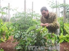 Trồng xen cây ăn quả trong vườn cà phê, dân Đắk Lắk thu lãi vài trăm triệu