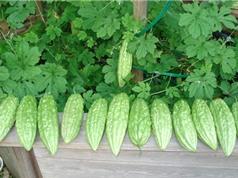 Cách trồng mướp đắng tại gia cho quả sai, ít sâu bệnh