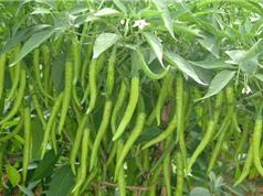 Phương pháp trồng ớt tại nhà cho sai quả, hợp vệ sinh