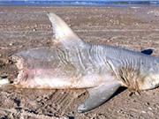 """Cá mập bị """"sát thủ kỳ bí"""" cắn đứt đôi người"""