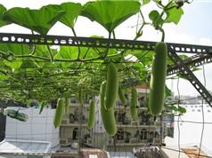 Hướng dẫn cách trồng bầu tại nhà cho quả sai, to