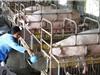 Phương pháp mới giúp lợn miễn nhiễm với dịch bệnh