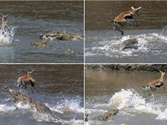 Màn thoát chết thần kì của linh dương trước cá sấu
