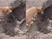 Clip: Cảm động trước cảnh chú chó đào huyệt chôn đồng loại