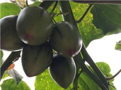 Siêu quả Magic-S, giống cây trồng mới ở Lâm Đồng
