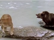 Clip: Gấu con thoát chết thần kỳ trước nanh vuốt báo sư tử