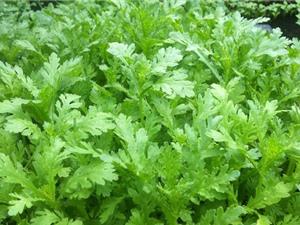 Hướng dẫn cách trồng rau cải cúc tại nhà đơn giản, ít sâu bệnh