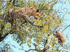 Clip: Báo đốm truy sát khỉ con trên cây
