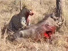 Clip: Màn vật lộn đẫm máu giữa báo và heo rừng