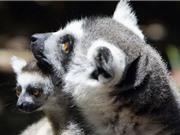 Bảo tồn động vật quý hiếm bằng phần mềm nhận diện gương mặt