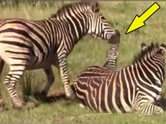 Clip: Ngựa vằn đực giết con non để sớm được giao phối