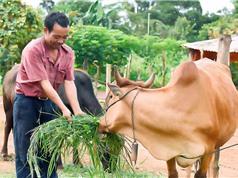 Đak Đoa nâng cao chất lượng đàn bò lai