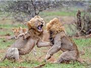 Clip: 2 con sư tử đực hỗn chiến giành sư tử cái