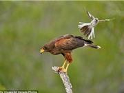 """LẠ: Chim nhỏ tấn công chim lớn vì """"sĩ gái"""""""