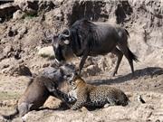 Clip động vật đại chiến ấn tượng nhất tuần: Hà mã xé xác ngựa vằn, báo leo cây săn khỉ