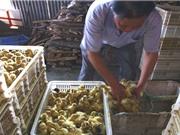 Trang trại Trung Quốc giết hàng nghìn con vịt đực gây phẫn nộ