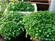 Hướng dẫn trồng rau cải xoong trong thùng xốp cho năng suất cao