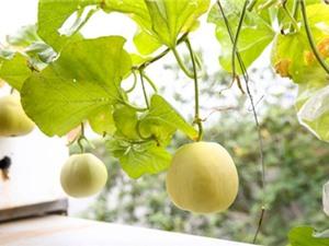 Cách trồng dưa lê sai trái, siêu ngọt tại nhà