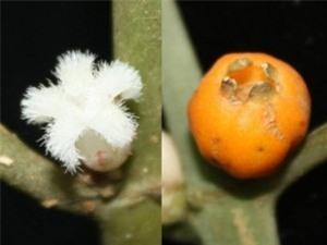 Phát hiện một loài thực vật mới ở Hòn Bà