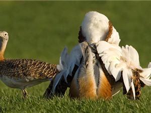 """Chiêm ngưỡng vẻ ngoài """"hổ báo"""" của chim ô tác lớn"""