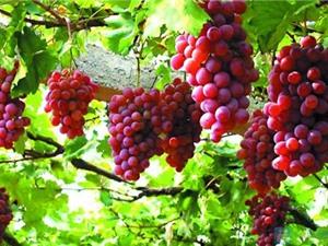 """Nho Ninh Thuận được chứng nhận là """"Thương hiệu nông nghiệp nổi tiếng Việt Nam"""""""