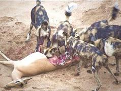 Clip: Chó hoang lôi linh dương con sắp sinh ra khỏi bụng mẹ