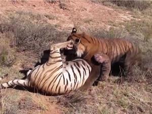 Clip: Màn quyết chiến kịch liệt của 2 con hổ