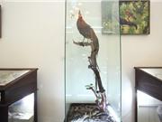 Cá bống trắng và giống gà quý con trai Nhật hoàng tặng bảo tàng Việt Nam