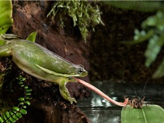 Clip: Cận cảnh tuyệt chiêu săn mồi của ếch