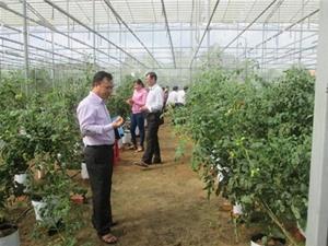 Triển vọng làm giàu từ mô hình trồng cà chua Picota trên đất Bến Tre