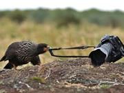 """Chú chim láu cá âm mưu """"đánh cắp"""" máy ảnh của nhiếp ảnh gia"""